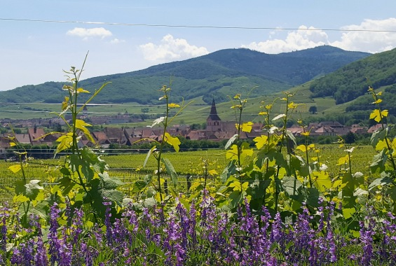 Kientzheim en fleurs
